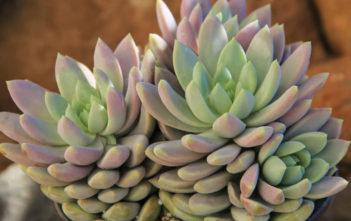 Sedeveria 'Lilac Mist'