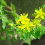 Sedum bulbiferum