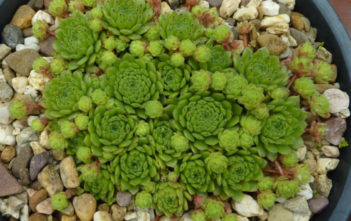 Sempervivum 'Windstille'