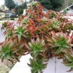 Aloe buettneri (West African Aloe)