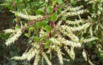 Anredera cordifolia (Madeira Vine)