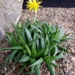 Bergeranthus concavus