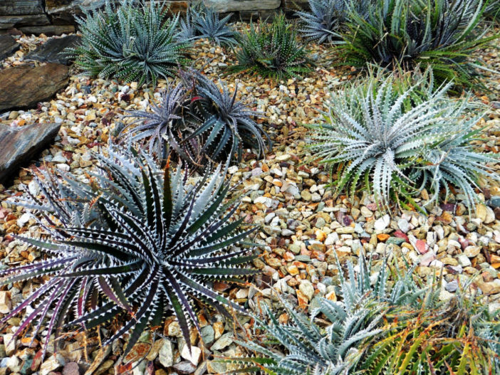 Grow and Care Bromeliads (Dyckia)