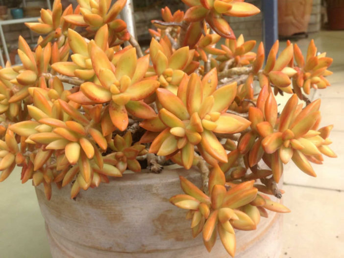How To Grow And Care For A Coppertone Stonecrop World Of