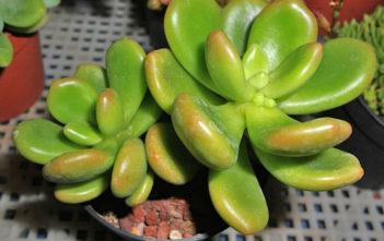 Cremnophila linguifolia