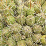 Cumulopuntia boliviana