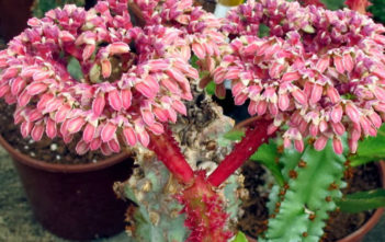 Euphorbia neoarborescens