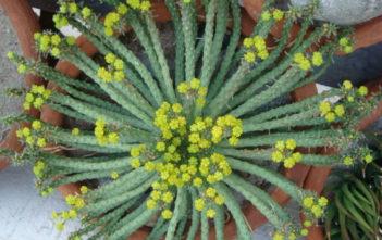 Euphorbia procumbens