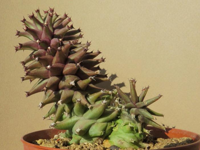 Euphorbia schubei