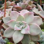 Graptopetalum 'Purple Haze'