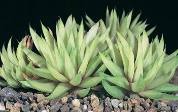 Haworthia chloracantha