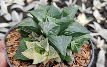 Haworthia magnifica f. variegata