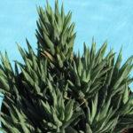 Haworthiopsis glauca aka Haworthia glauca