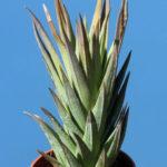 Haworthiopsis glauca