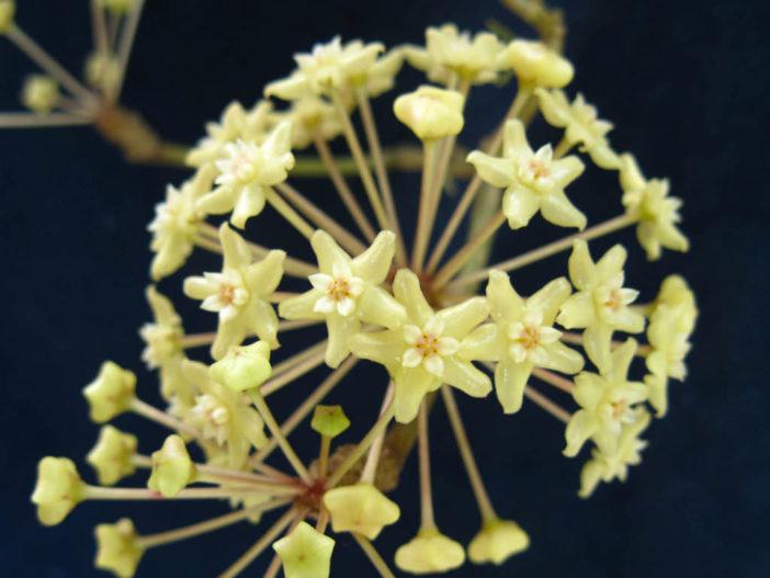 Hoya merrillii (Wax Plant)