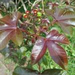 Jatropha gossypiifolia (Bellyache Bush)