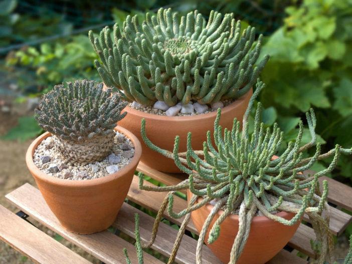 Medusoid Euphorbias