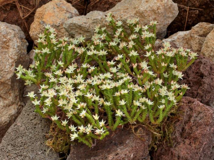 Sedum moranense (Red Stonecrop)