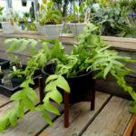 Selenicereus chrysocardium (Fernleaf Cactus) aka Epiphyllum chrysocardium