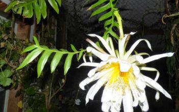 Selenicereus chrysocardium (Fernleaf Cactus)