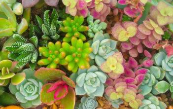 Succulent Plant Names