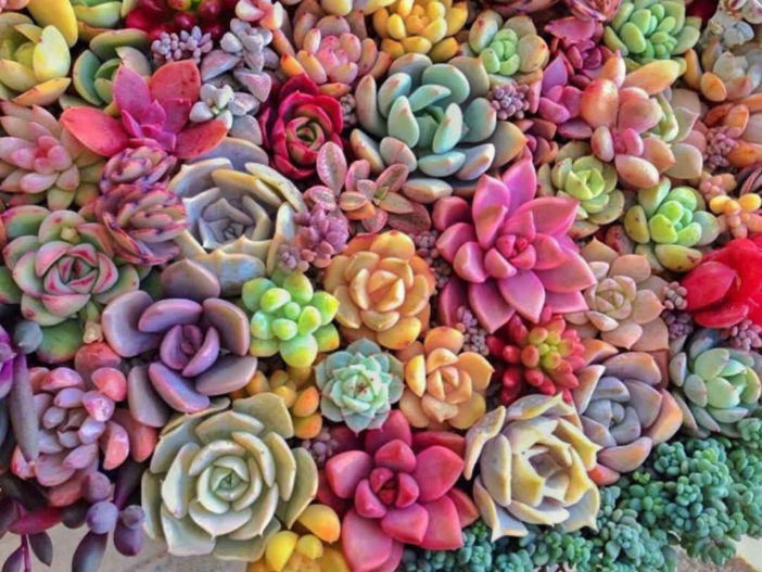 Succulents Change Color