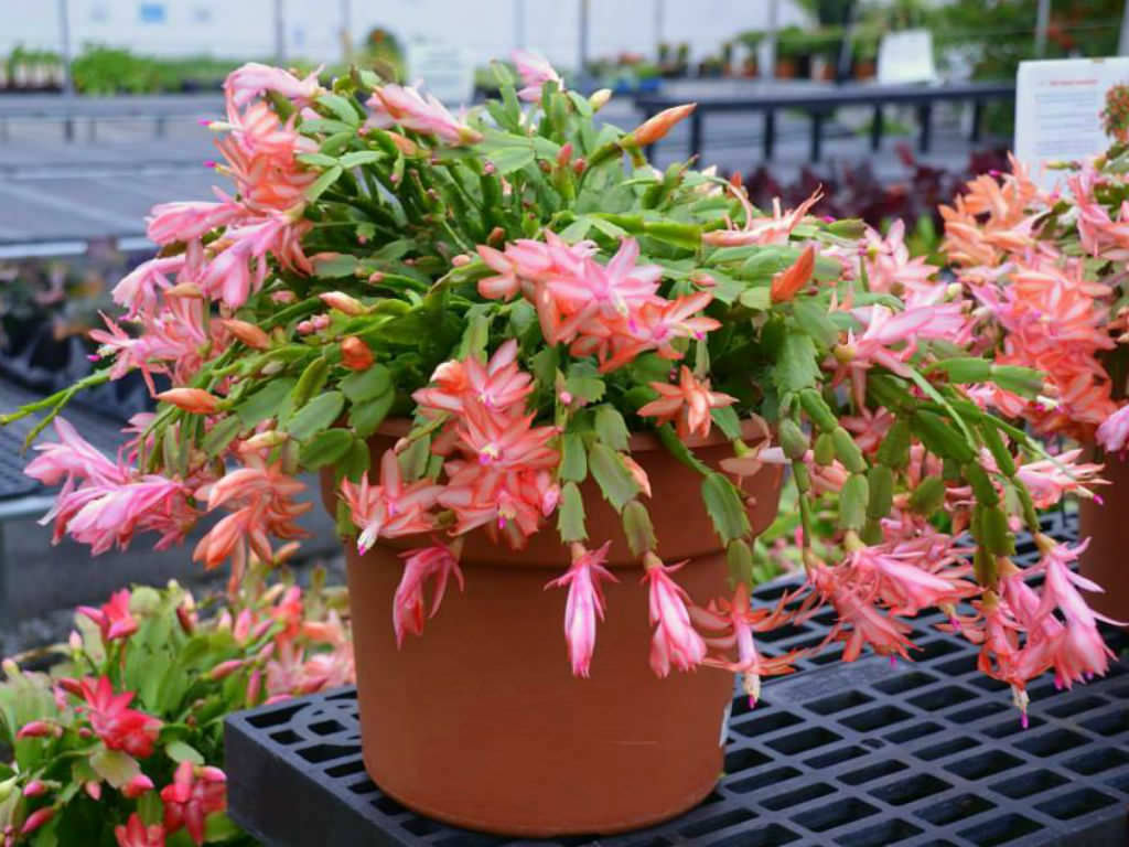 How To Repot A Thanksgiving Cactus World Of Succulents
