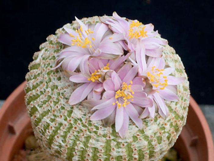 Grow and Care Yavia cryptocarpa