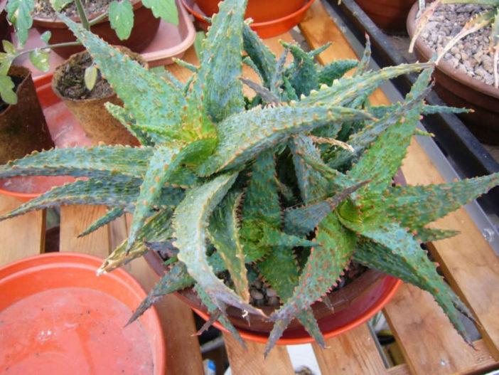 Aloe 'Viper' (Griffin Viper Hybrid Aloe)