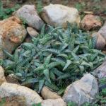 Aloe ellenbeckii