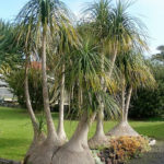 Beaucarnea recurvata (Ponytail Palm)