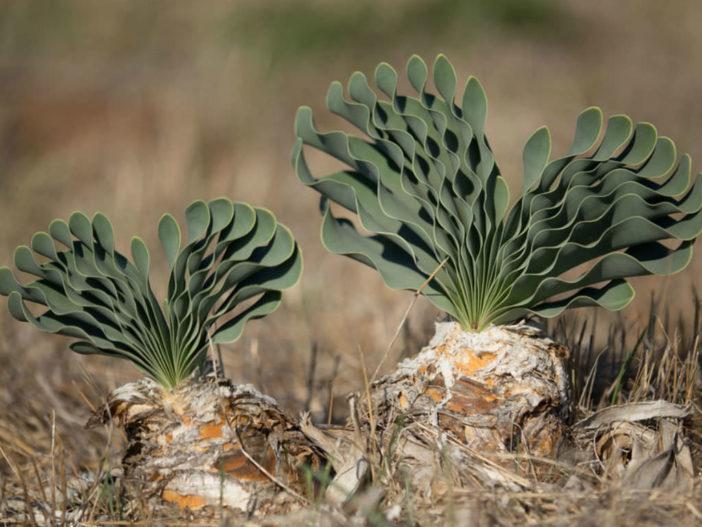 Boophone haemanthoides (Namaqua Century Plant)