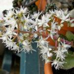 Crassula lactea (Taylor's Parches)