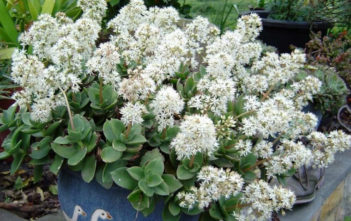 Crassula lactea (Taylor's Parches)