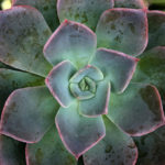 Echeveria 'Princess Blue'