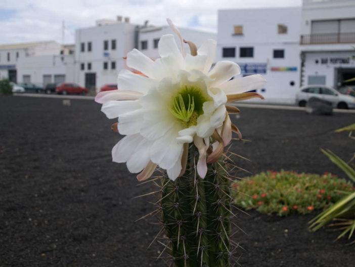 Echinopsis lageniformis (Bolivian Torch Cactus)