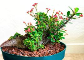 Euphorbia milii f. cristata (CrestedCrown of Thorns)