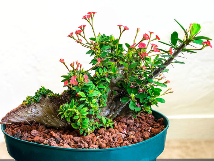 Euphorbia milii f. cristata (Crested Crown of Thorns)