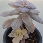 Graptopetalum superbum f. variegata