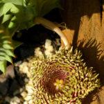 Huernia hystrix (Porcupine Huernia)