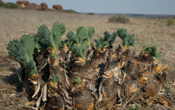 Namaqua Century Plant (Boophone haemanthoides)
