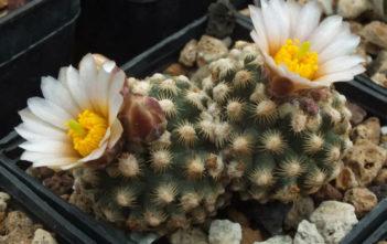 Pediocactus knowltonii (Knowlton's Cactus)