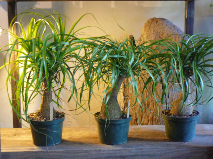 Grow and Care Ponytail Palm (Beaucarnea recurvata)