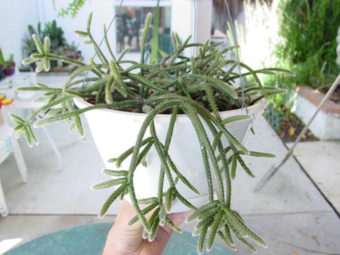 Rhipsalis baccifera subsp. horrida (Mouse Tail Cactus)