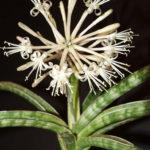 Sansevieria ballyi (Dwarf Sansevieria)