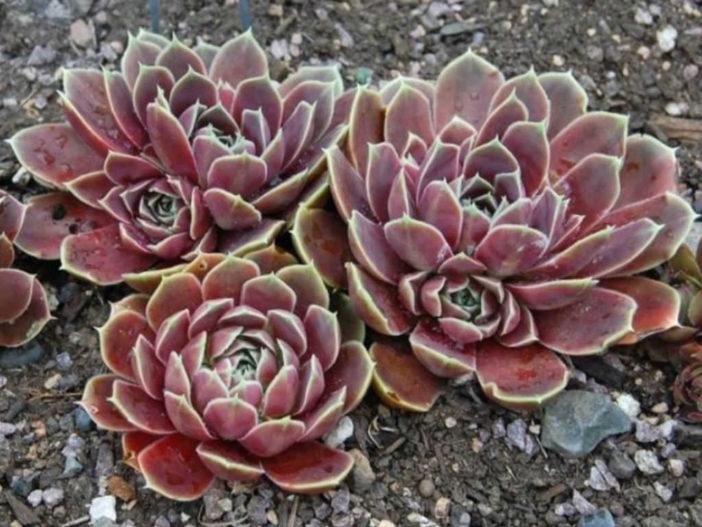 Sempervivum heuffelii 'Purple Haze' (Job's Beard)