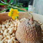 Talinum caffrum (Porcupine Root)