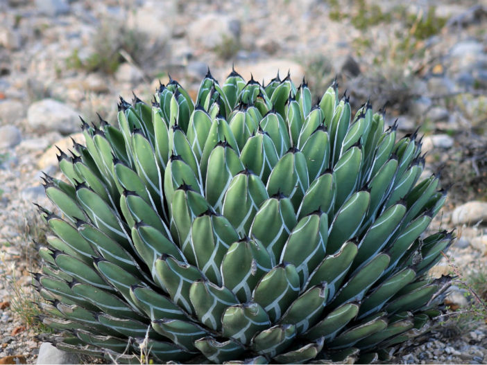 Agave nickelsiae (King of the Agaves)