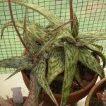 Aloe somaliensis (Somalian Aloe)