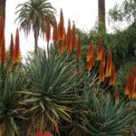 Aloe x caesia
